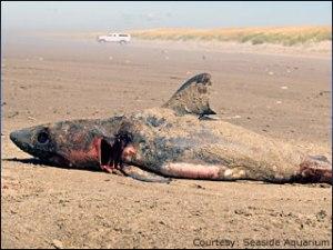 080822_shark_carcass